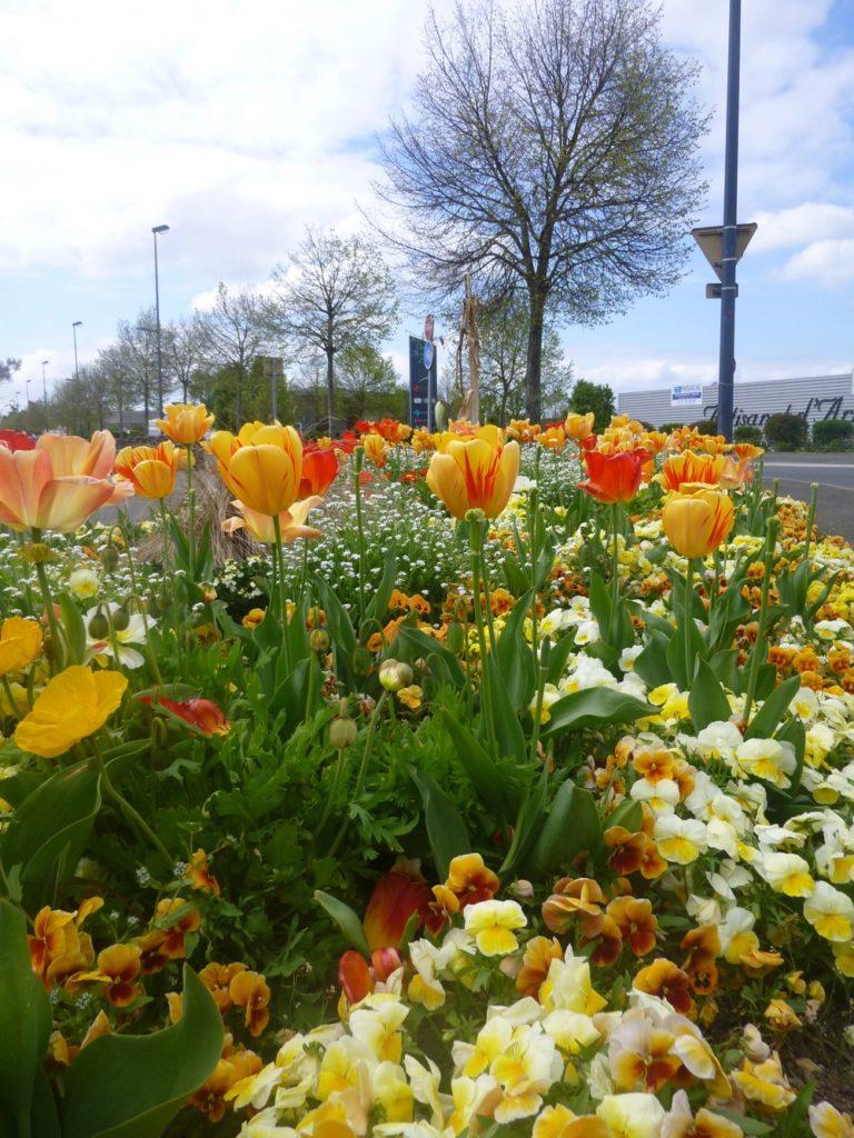tulipes Trélazé ville fleurie