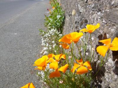 Fleurs pied de mur Trélazé