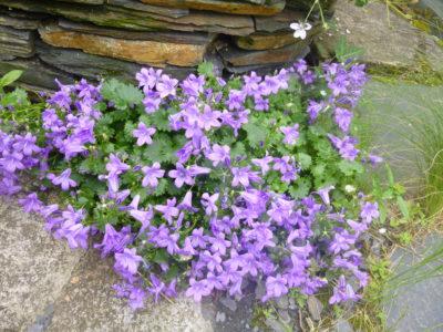 Fleurs pied de murs Trélazé